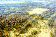 Seagrass Meadow @ St. Joseph Bay, Florida